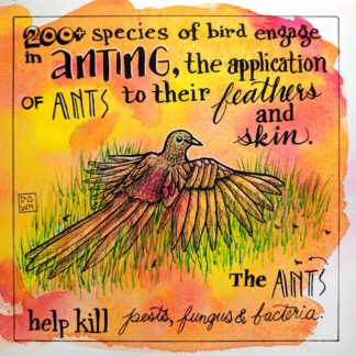 Two hundred plus species of bird engage in anting, the application of ants to their feathers and skin