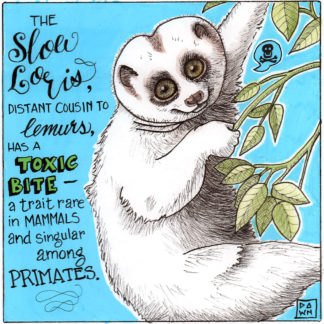 The slow loris, distant cousin to lemurs, has a toxic bite–a trait rare in mammals and singular in primates.